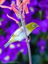 A Japanese white-eye perches on the stem of a Japanese aloe flower