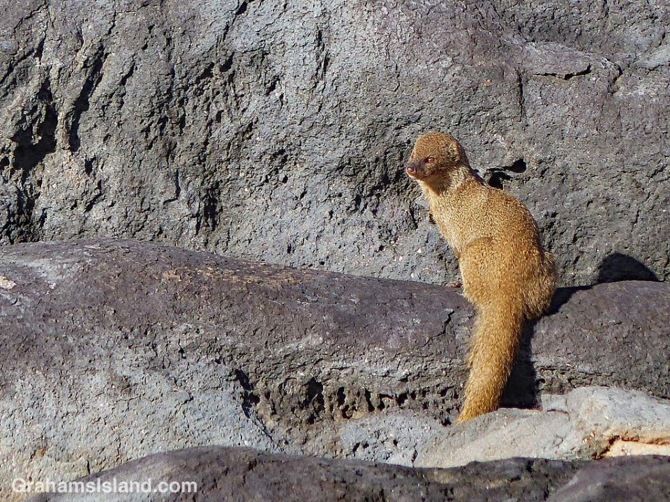 Mongoose on the rocks