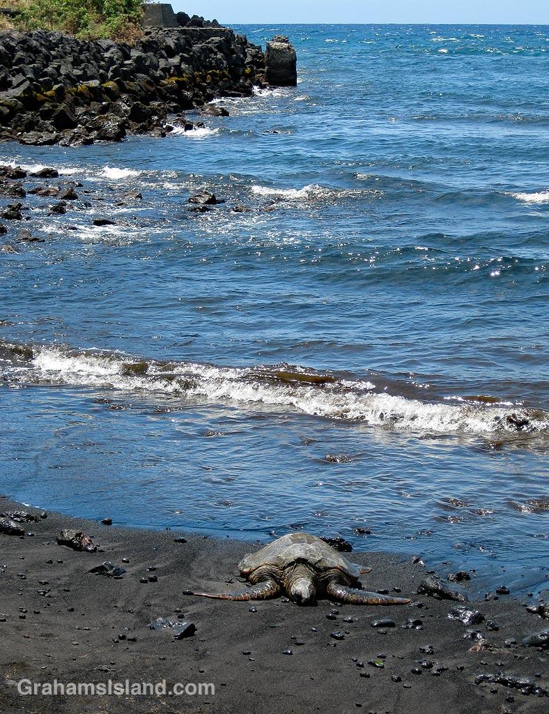 Turtle at Punuluu