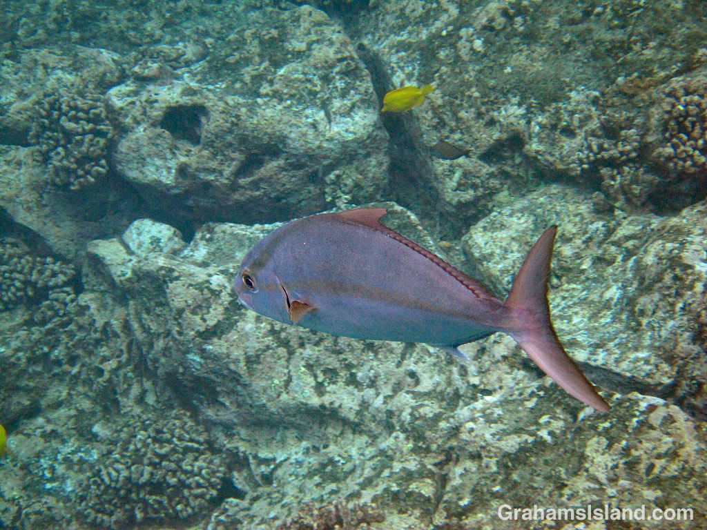 A greater amberjack swims by