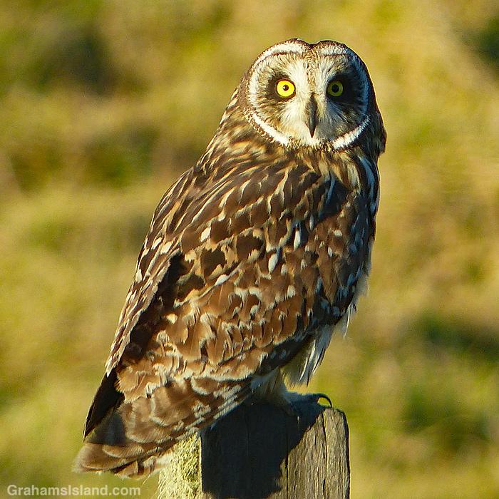 A pueo or Hawaiian short-eared owl sits on a post