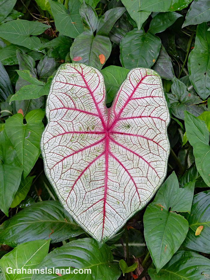 The red veins of a caladium leaf stand out.