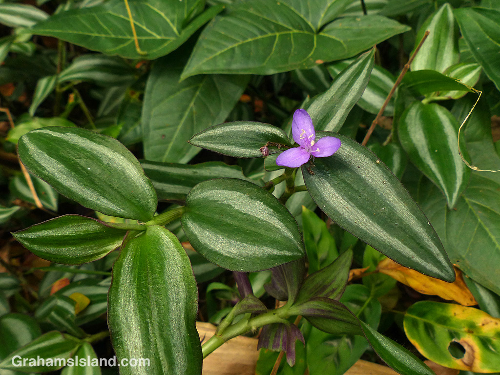Smaller calathea leaves topped with a purple flower.