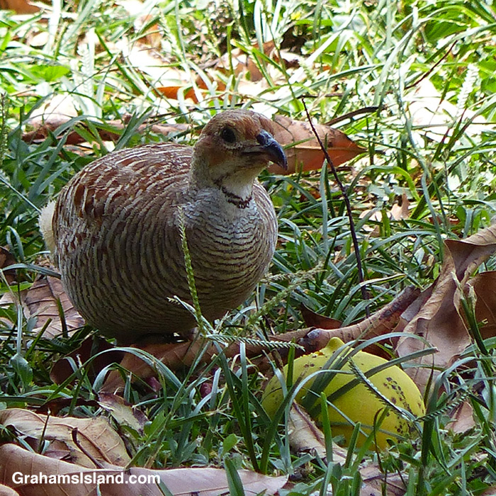 A gray francolin contemplates a mango.