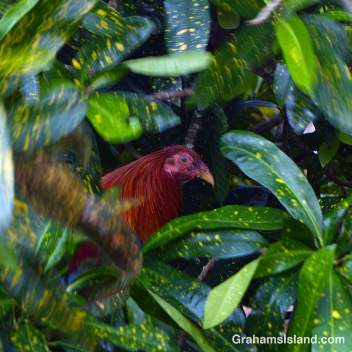 A rooster rests in a hedge.