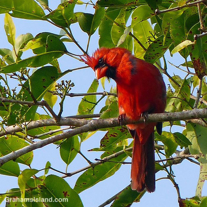 A male northern cardinal looking quizzical.