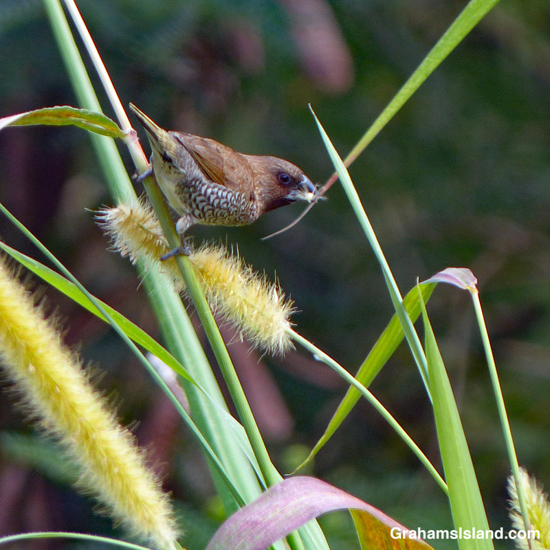 A nutmeg mannikin feeds on cane grass seeds.