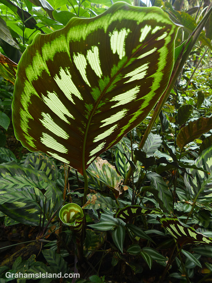 A giant calathea leaf seen from below.