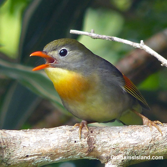A red-billed leiothrix calls out.