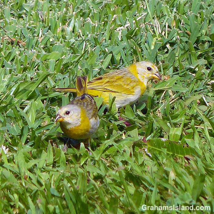 A pair of saffron finch juveniles forage in the grass.