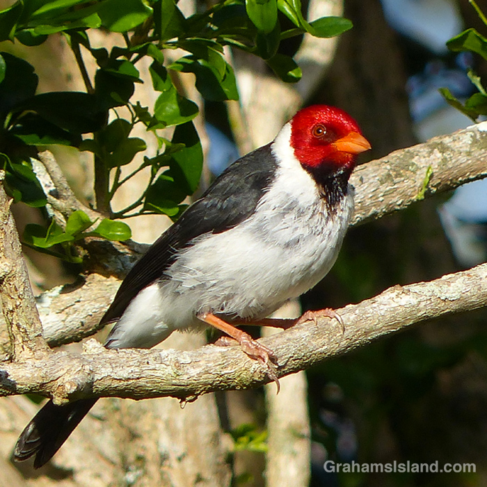 A yellow-billed cardinal keeps a wary eye out.