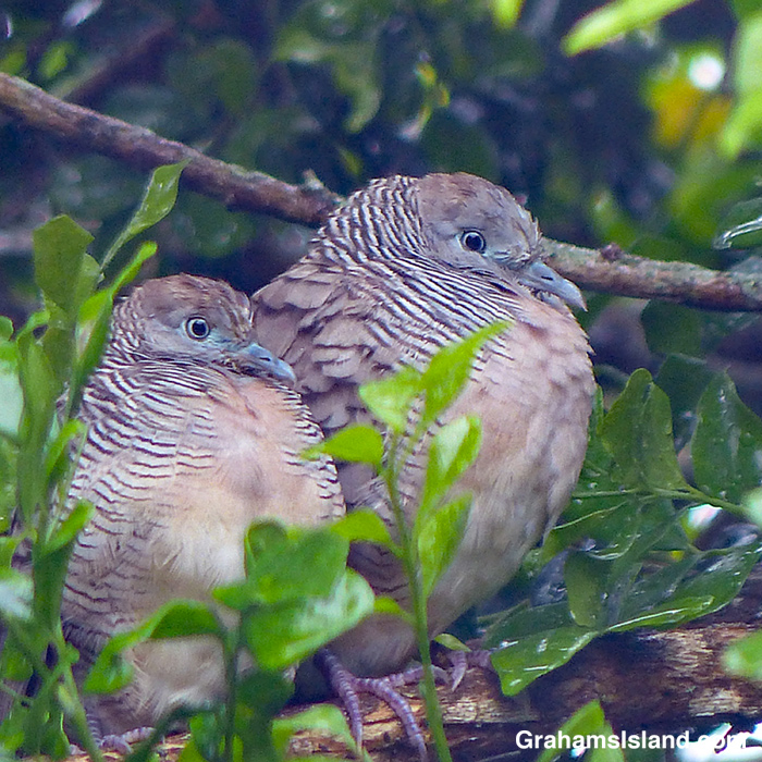 Two zebra doves looking slightly affronted.