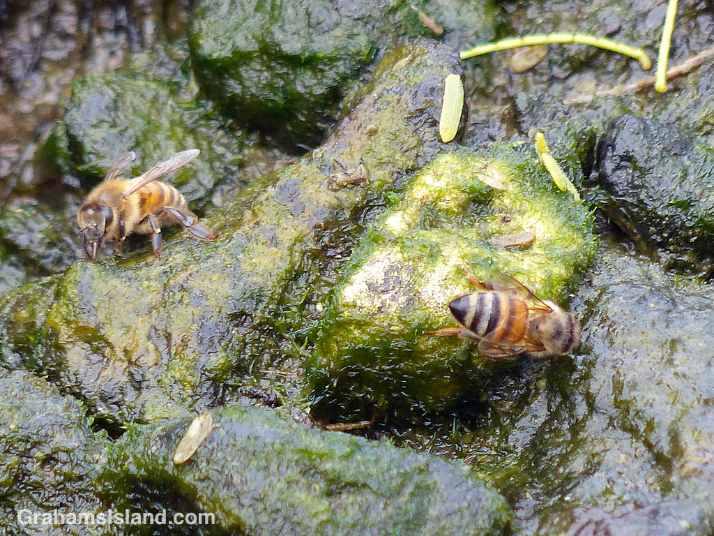 Bees collect water from the edge of a pool