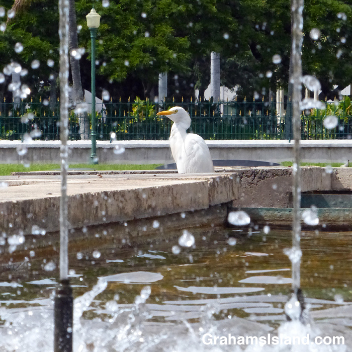 A cattle egret standing in a fountain