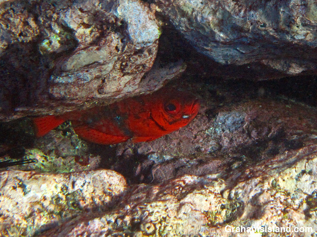 A common bigeye fish in a hollow in the rocks
