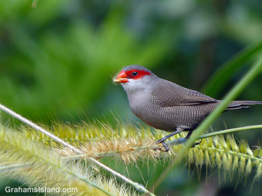 A common waxbill eating cane grass seeds