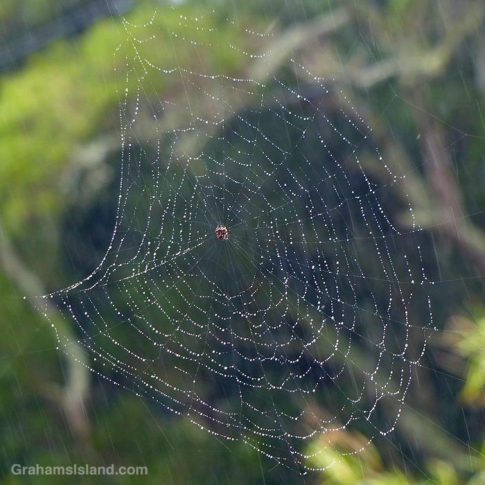 A crab spider web in the rain