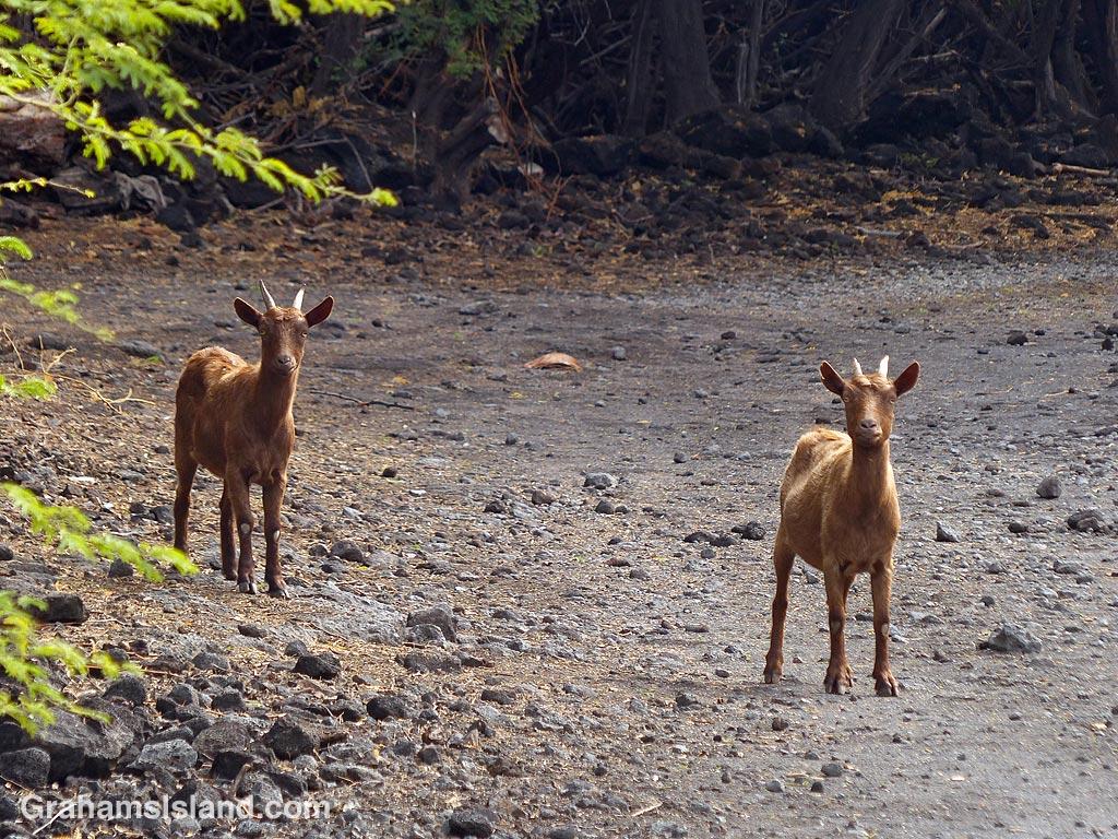 Goats at Kiholo, Hawaii