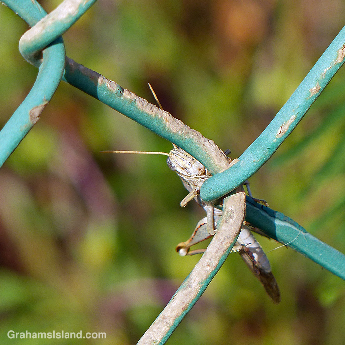 A grasshopper on a fence