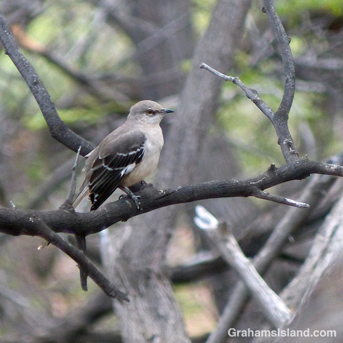 A northern mockingbird at Kiholo, Hawaii