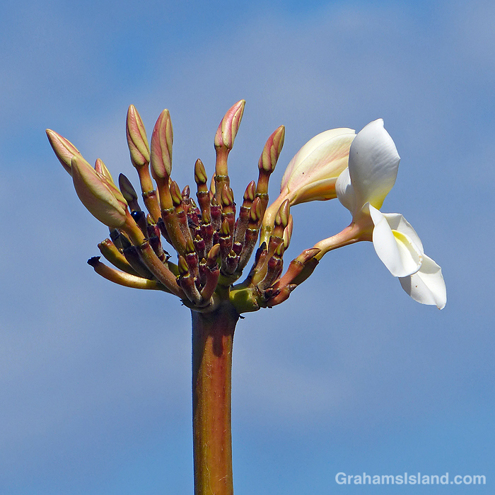 Plumeria buds and flowers