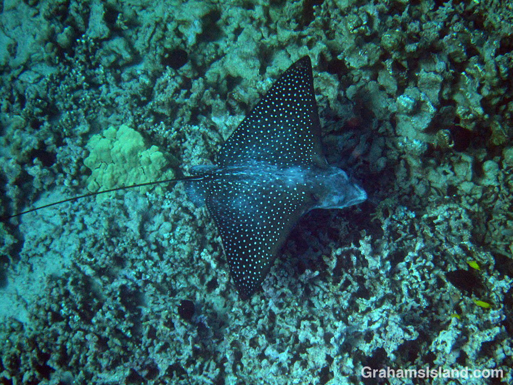 A spotted eagle ray swims off the Big Island, Hawaii