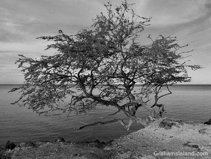 Black and white photo of a tree on the coast of the Big Island, Hawaii