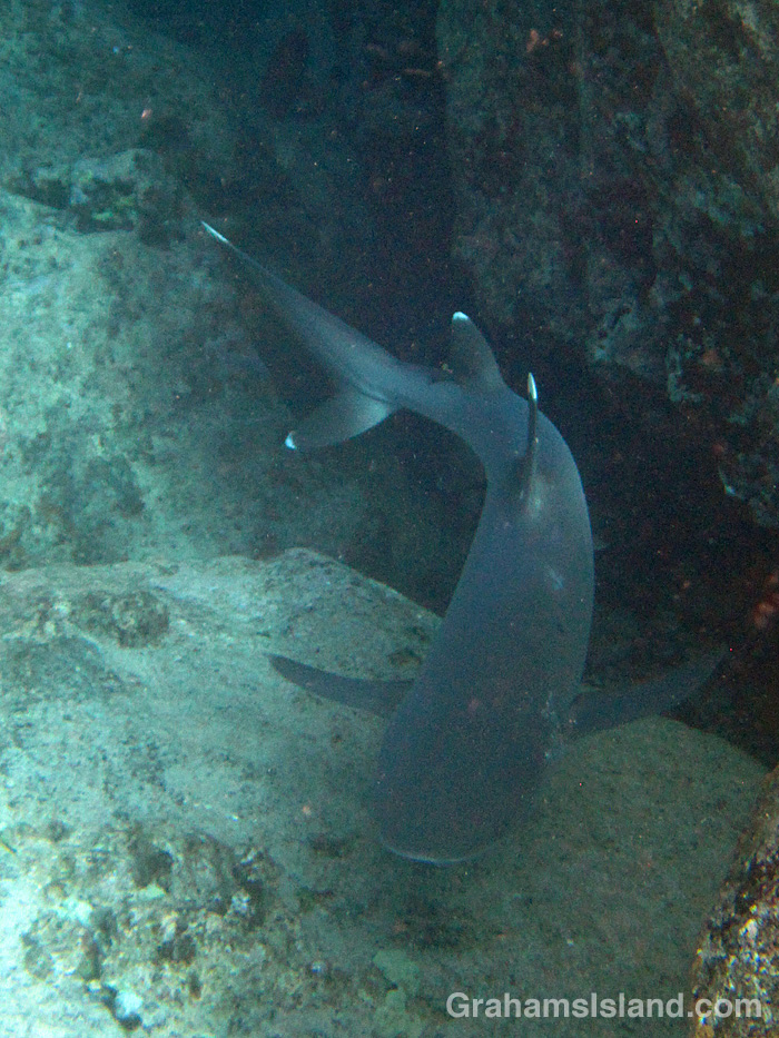 A whitetip reef shark cruises off the Big Island, Hawaii