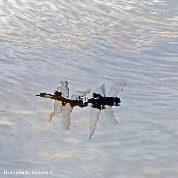 A pair of Black Saddlebags Dragonflies mating as reflected in a pool