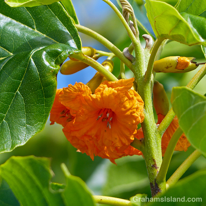 An orange Kou flower in Hawaii