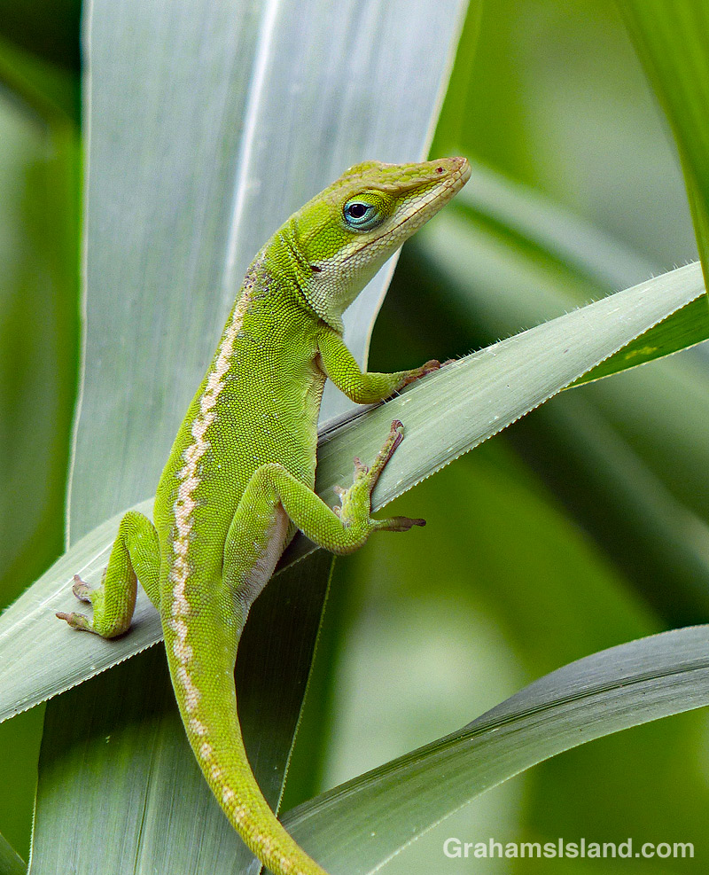 A green anole on a leaf