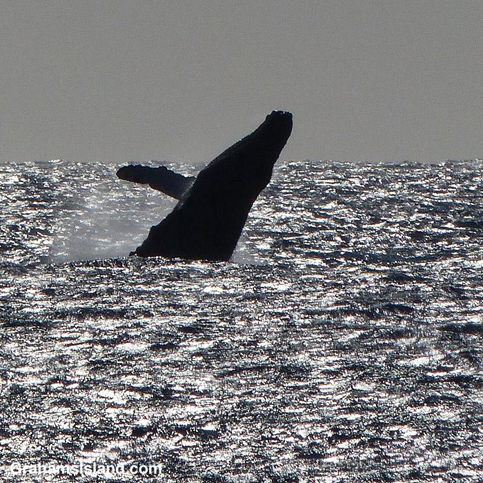 A humpback whale breaches off the Big Island, Hawaii