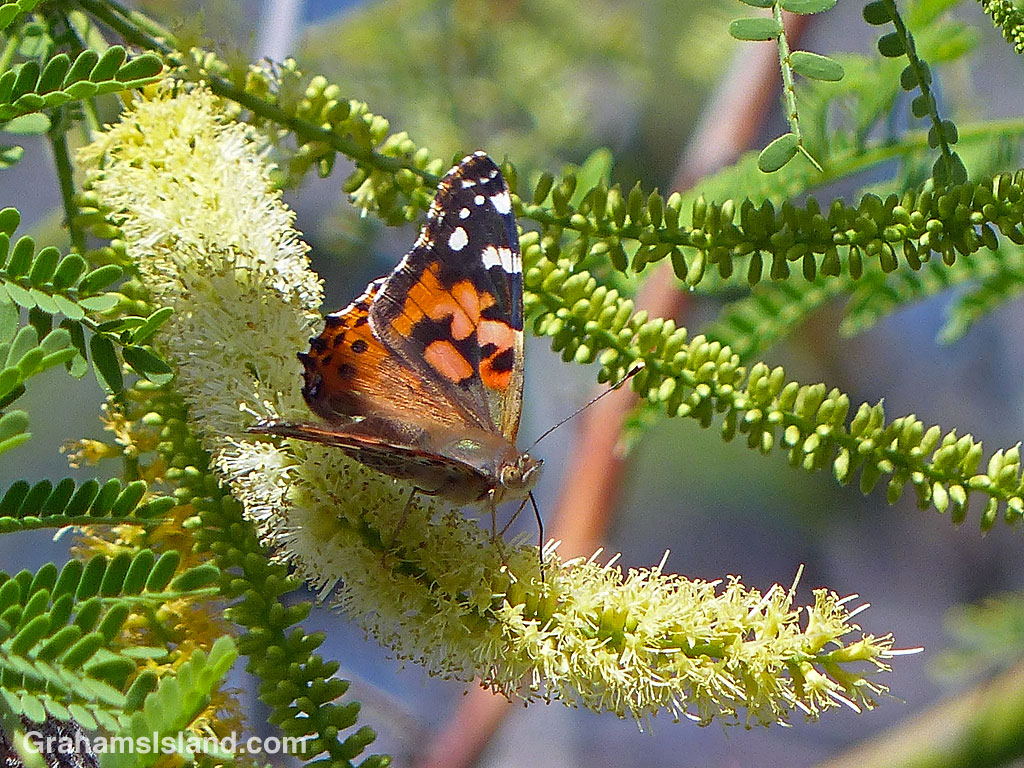 A Painted Lady Butterfly feeds on a kiawe flower