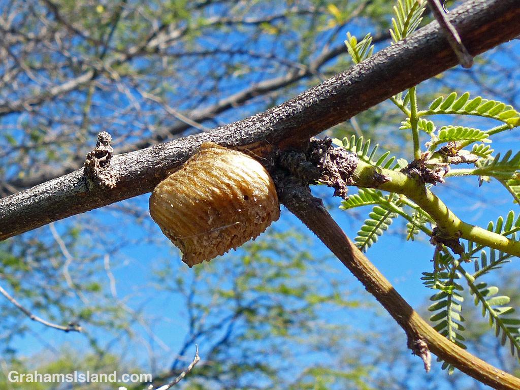 A praying mantis egg sac on a branch