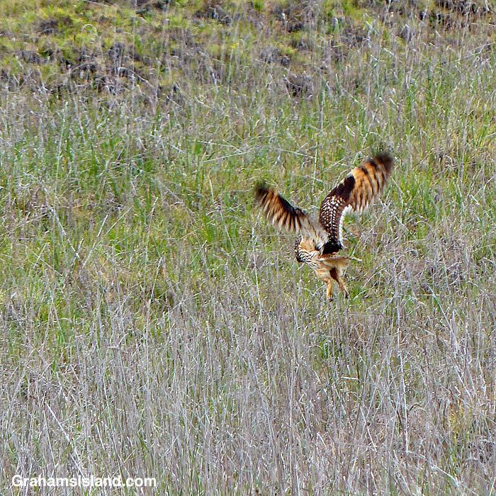 A Hawaiian short-eared owl (pueo) hunting