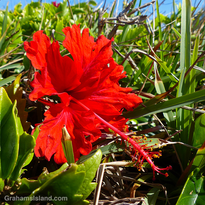 A bright red hibiscus flower