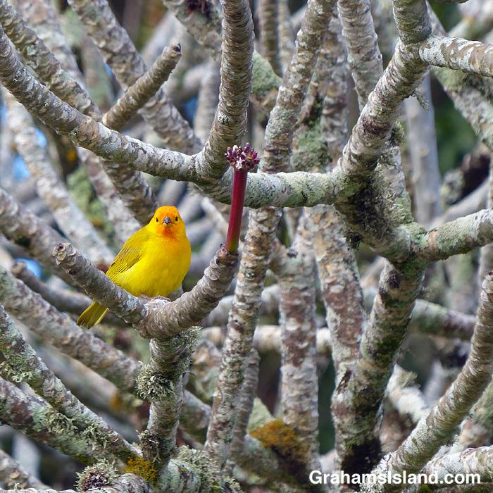 A saffron finch on a plumeria branch