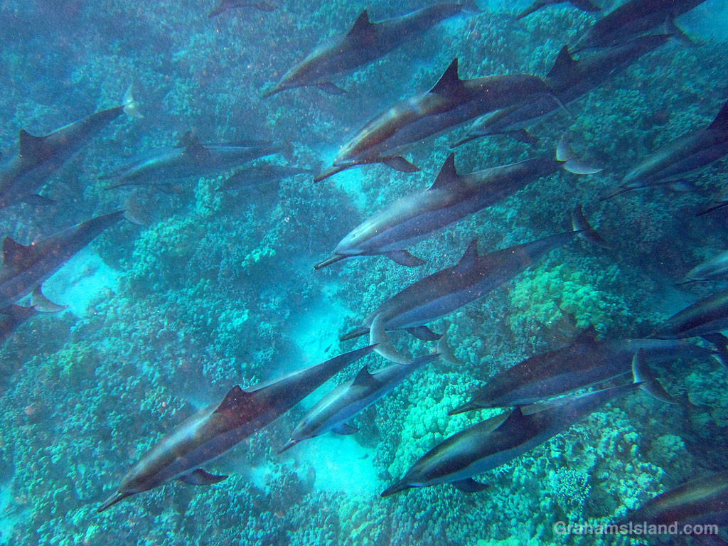 Spinner dolphins in the waters off the Big Island, Hawaii
