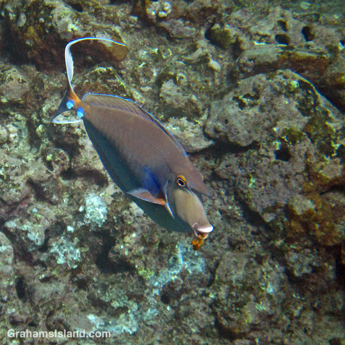 A Bluespine Unicornfish off Hawaii