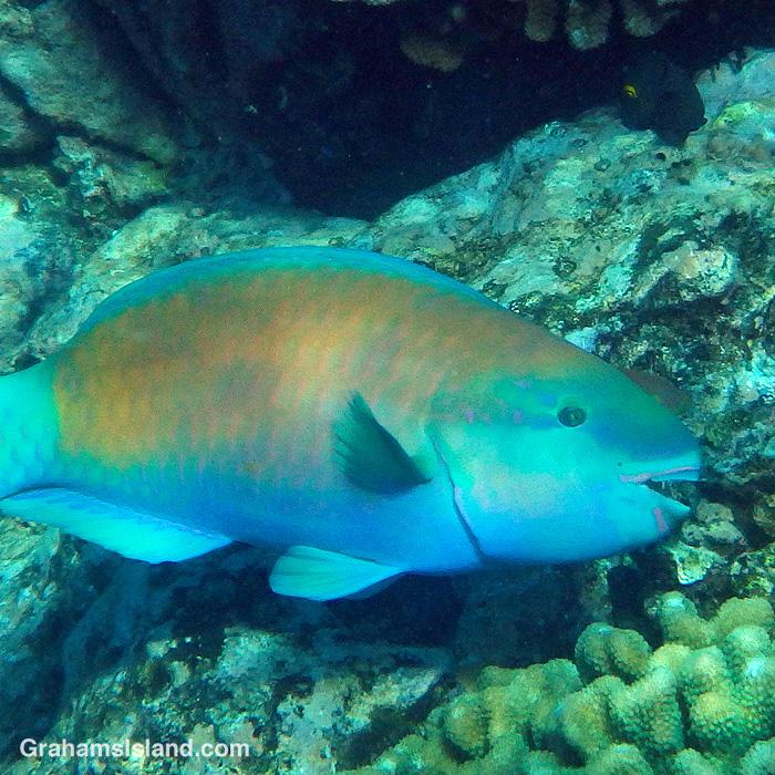 A Bullethead Parrotfish in Hawaii