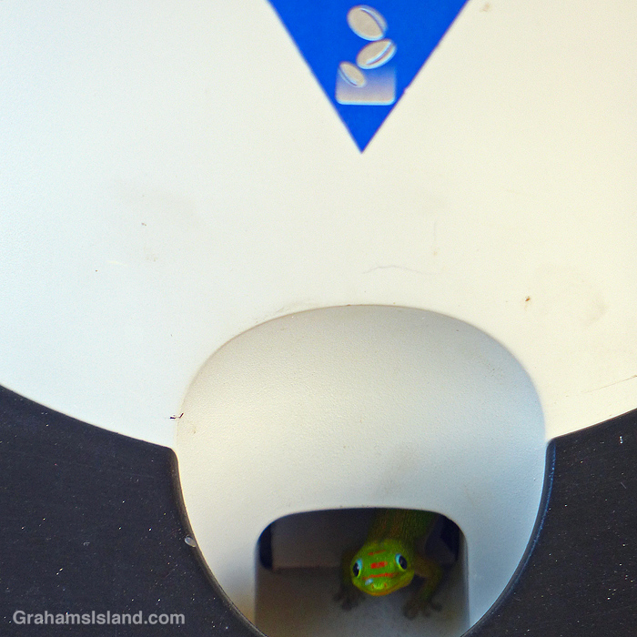 A gecko looks out from a Pepsi machine