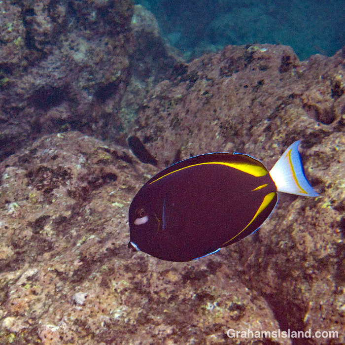 A Goldrim Tang off Hawaii