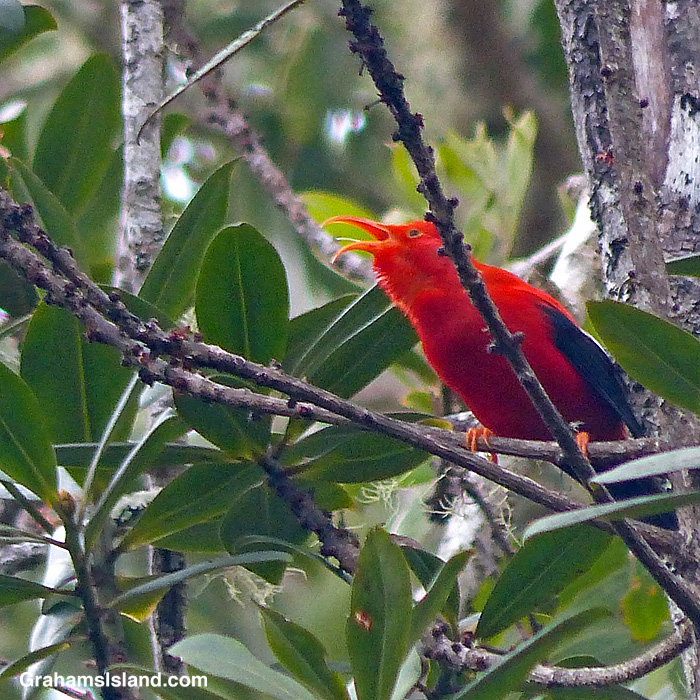 An I'iwi calls in a forest off Saddle Road, Hawaii