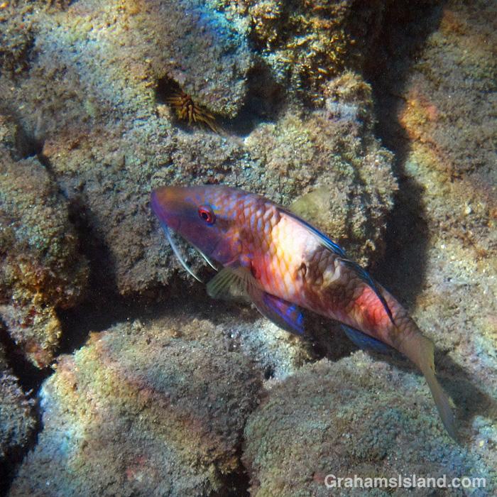 A Manybar goatfish off Hawaii
