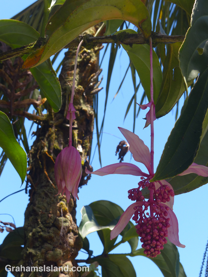 Rose grape (Medinilla Magnifica) flowers in Hawaii