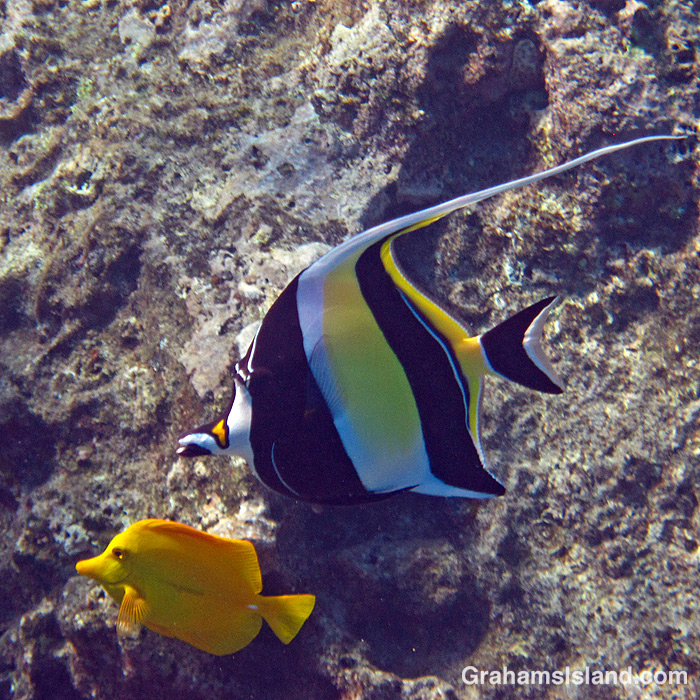 A Moorish idol and yellow tang off Hawaii