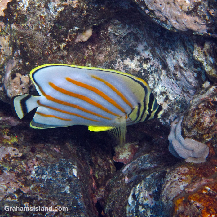 An Ornate butterflyfish off Hawaii