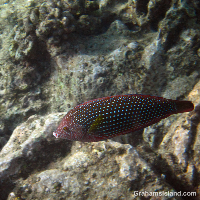 A female Pearl Wrasse off Hawaii