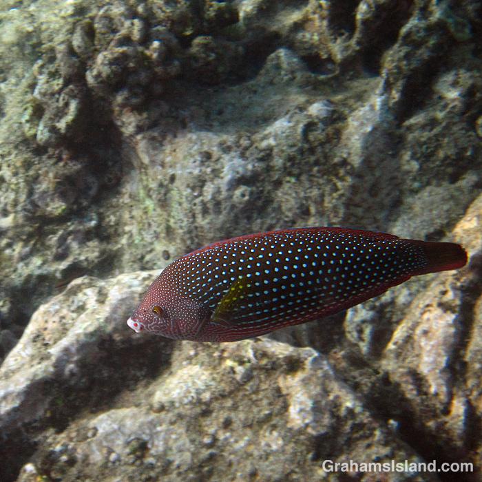 A female Pearl Wrasse off Hawaii