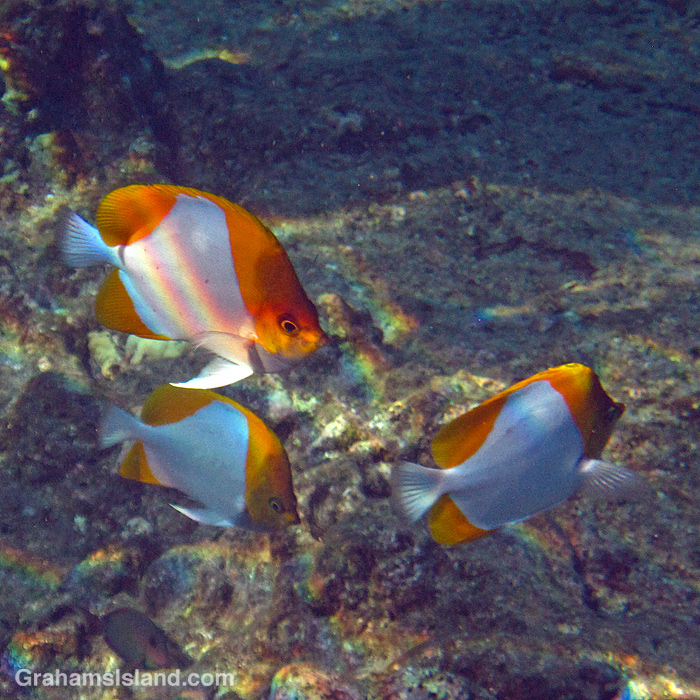 Three Pyramid butterflyfishes off Hawaii